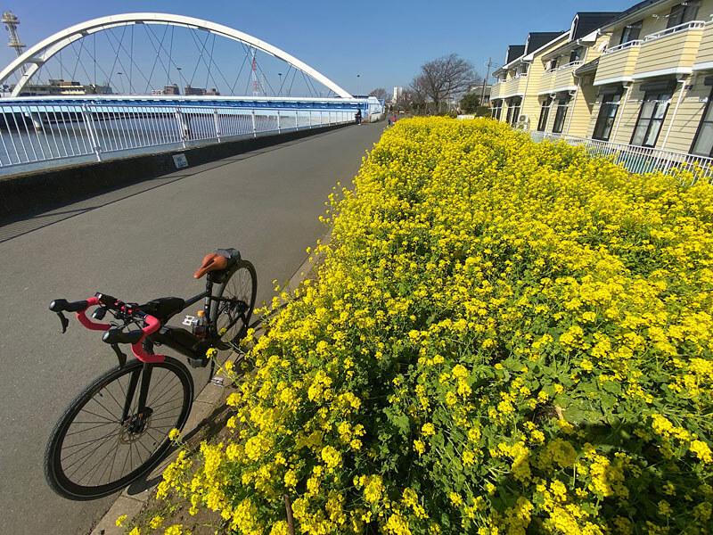 鶴見川沿いの菜の花畑